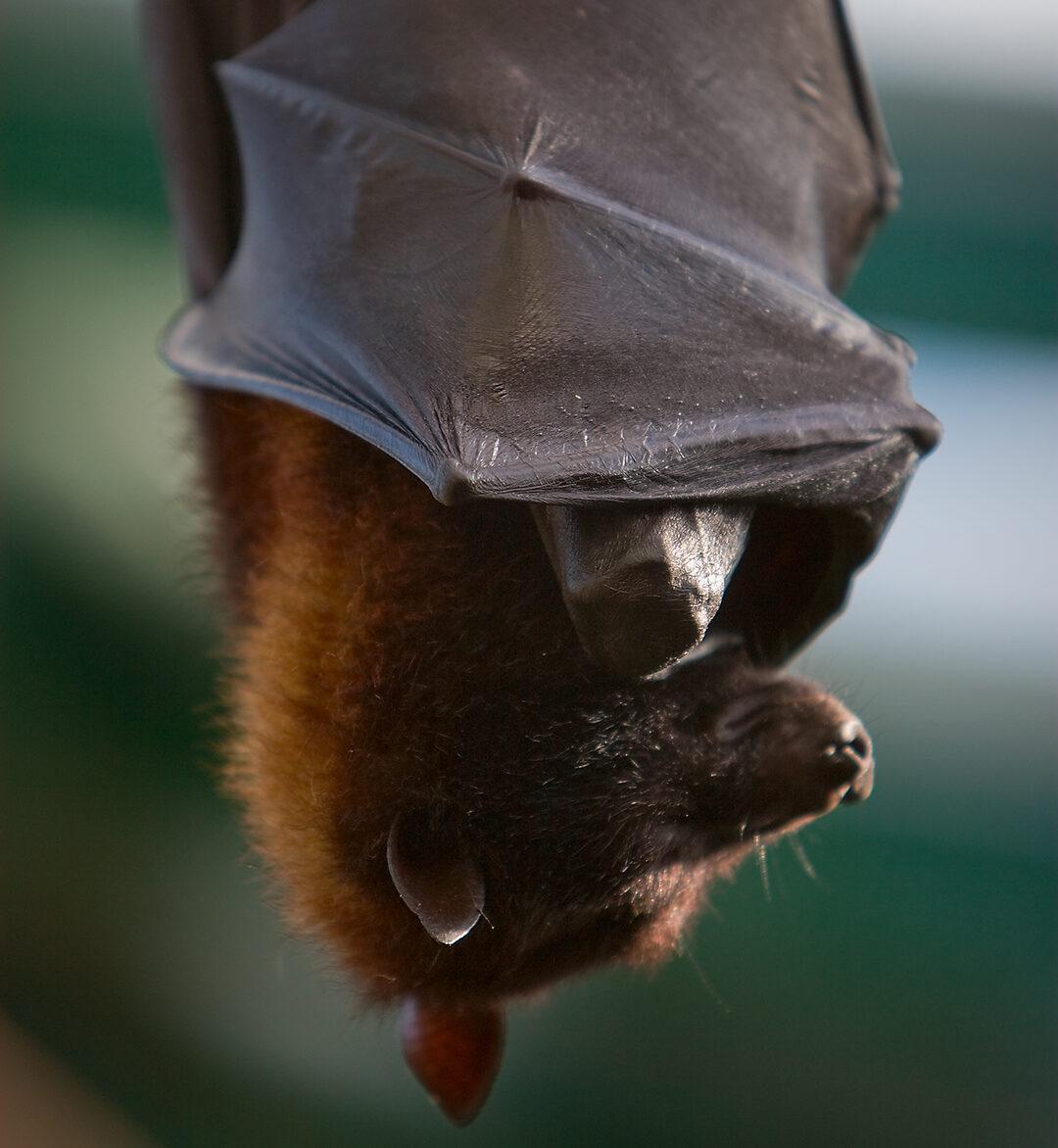 hanging-bat2.jpg