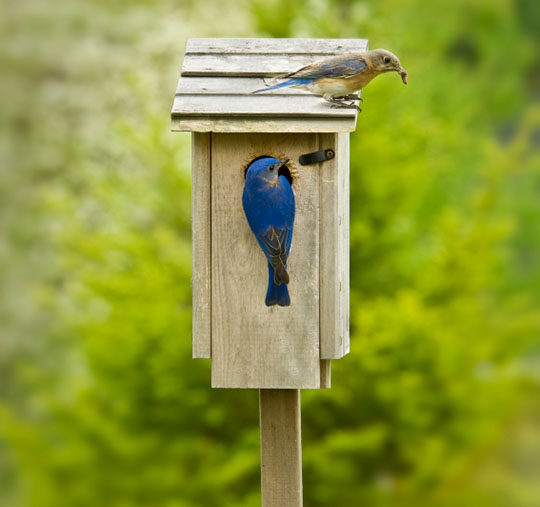 Information on bluebirds including habitats, nesting, preferred foods and best bird houses!