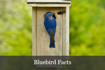 Bluebird Facts