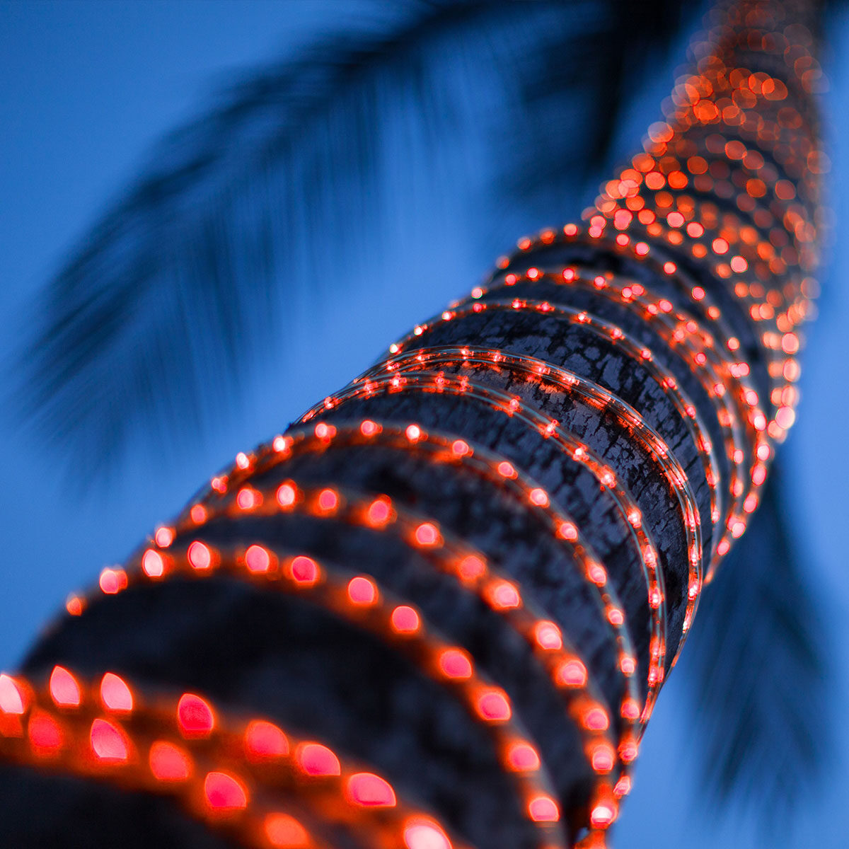 Rope Light Wrapped Around A Palm Tree